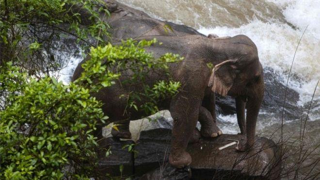 تراژدی تایلند: فیلها واقعا جانشان را فدای هم میکنند؟